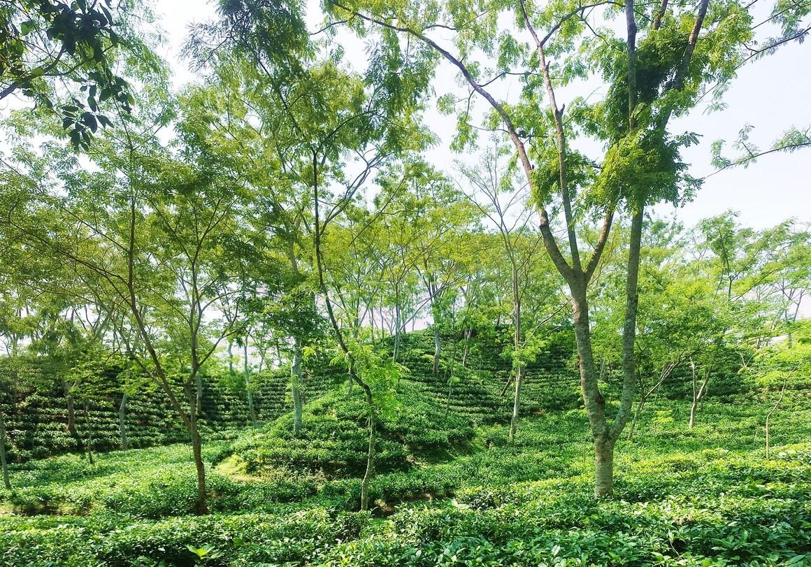 Tea garden in Sreemangal, Sylhet